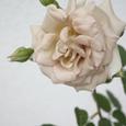 バラ 'ダイヤモンド・グレー'